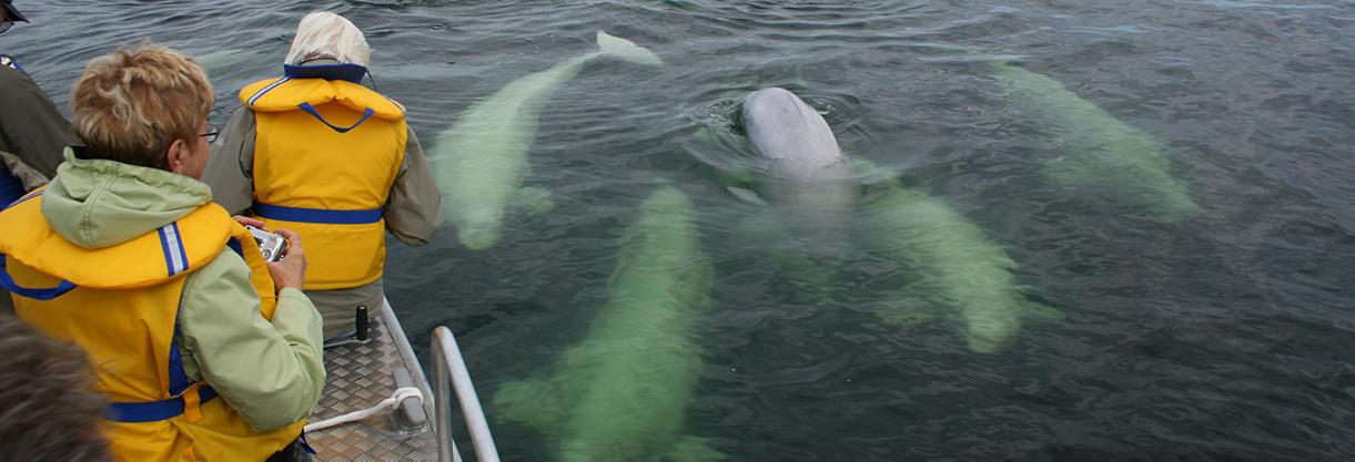 Beluga Whale 4