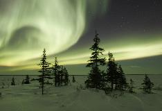 Northern Lights Surrounding Trees Churchill Manitoba