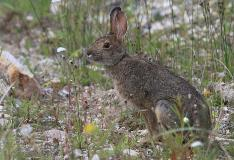 Rabbit In Grass Churchill Manitoba