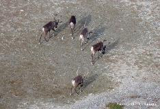 helicopter caribou