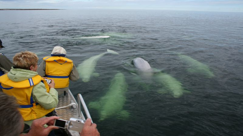 beluga-whale-dream-tour-800x450