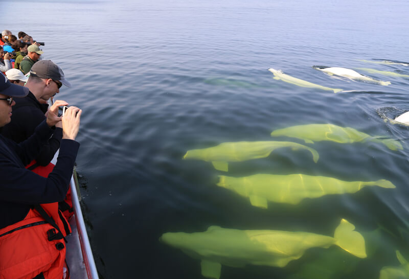 Beluga-Whales-By-Boat