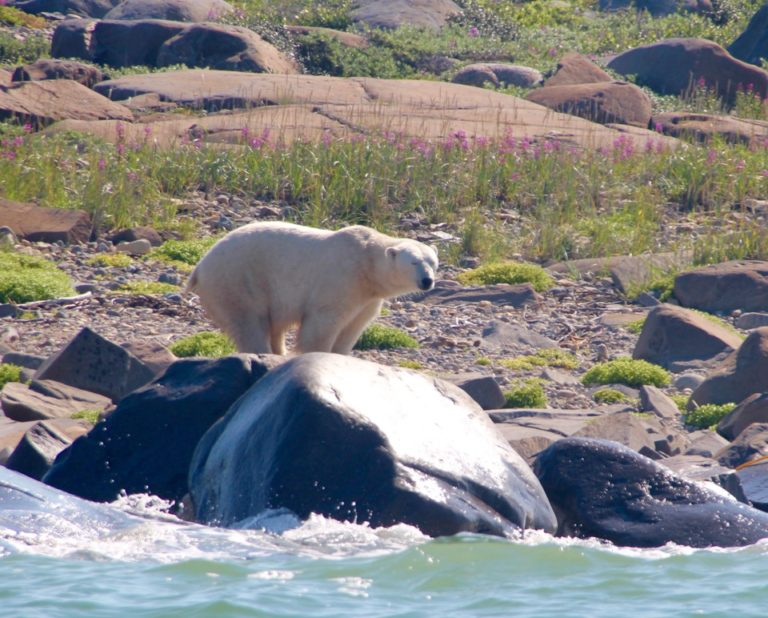 Polar Bear On Rock