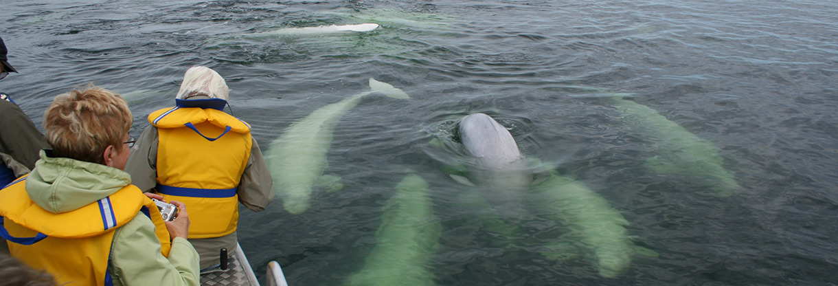 Beluga Whales In Churchill Manitoba