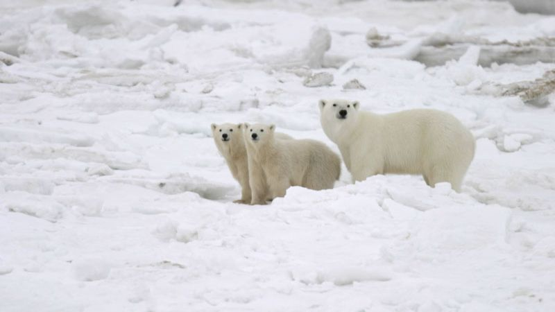 polar-bear-tour