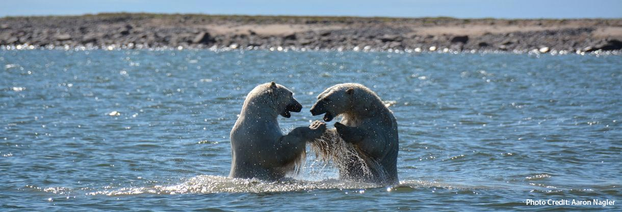 polar-bears-in-water-dsc_4103