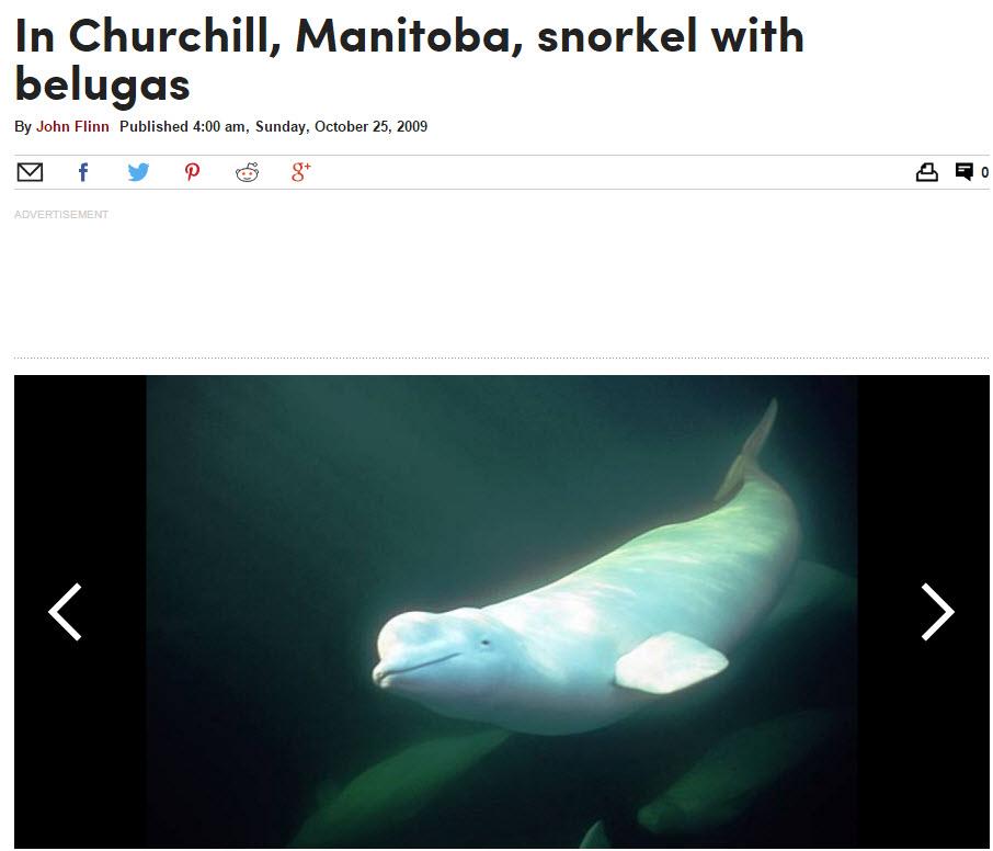 Snorkel With Belugas