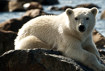 Churchill Manitoba Polar Bear Tour