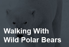walkign-with-polar-bears