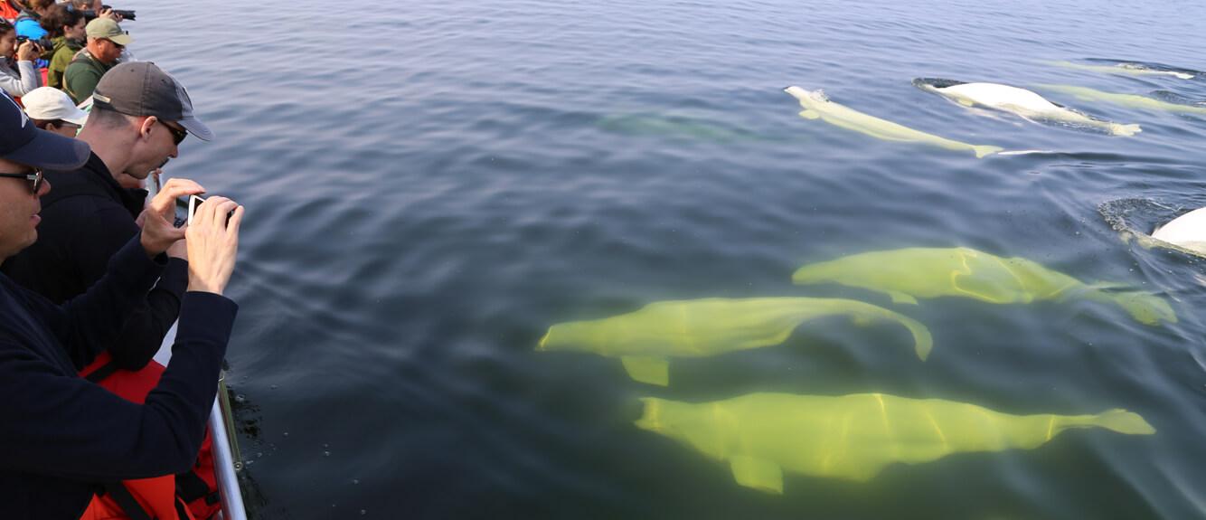 Beluga-by-Boat-Banner