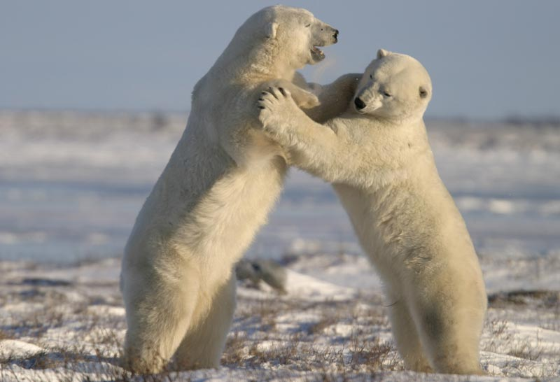 Polar-Bear-Tours-800x546