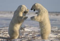 Polar Bears Playing In Churchill Manitoba