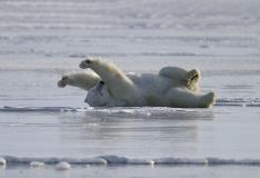Polar Bear Sprawled Out On Ice In Churchill Manitoba