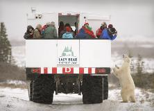 Polar Bear Looking At Arctic Crawler In Churchill Manitoba
