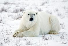 Churchill Manitoba Polar Bear