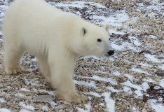 Polar Bear of Churchill Manitoba