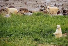 Polar Bears of Churchill Manitoba