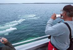 Beluga Whale Swimming In Churchill Manitoba