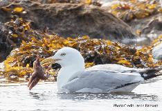 seagull with starfish