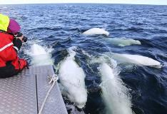 Taking Pictures Of Beluga Whales In Churchill Manitoba