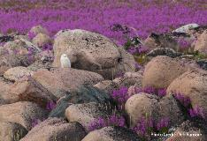snowy owl and fireweed