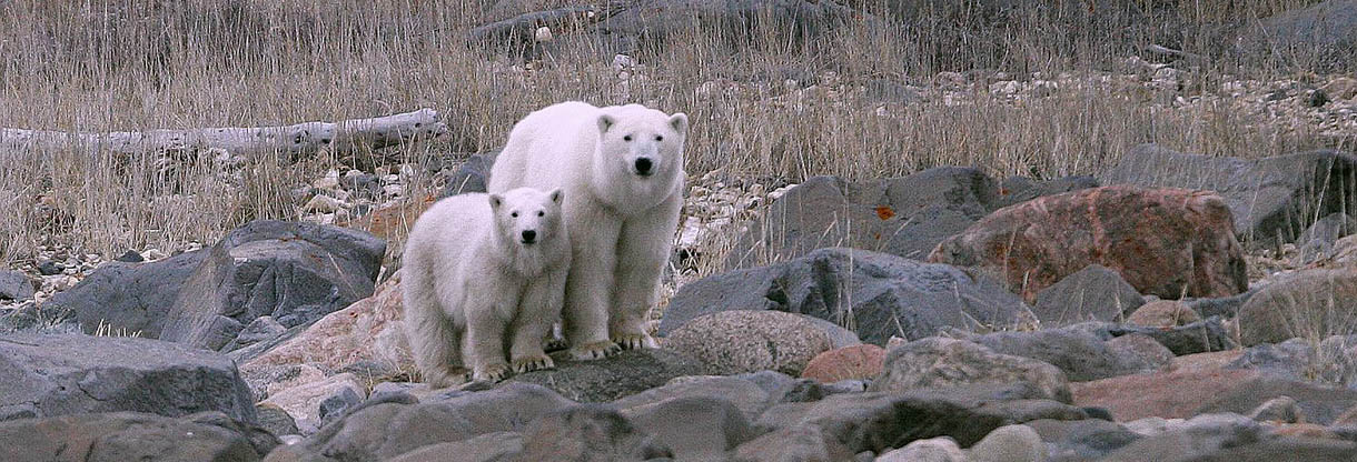 UPBA Two Polar Bears