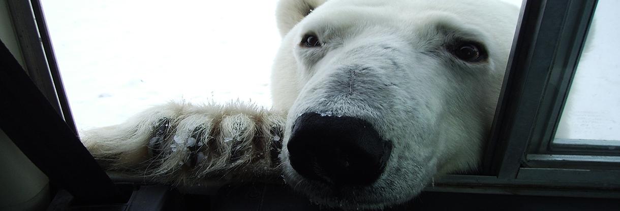 UPBA Bear In Window